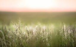 摇摆在领域的草在日落 免版税库存图片