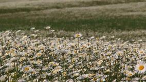 摇摆在领域的风的开花的春黄菊 股票视频