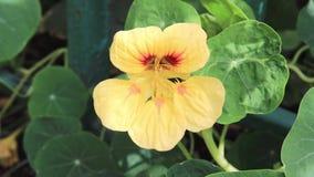 摇摆在风关闭的金莲花黄色花  影视素材