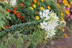 摇摆在风白色hortenning的芽的白色hortenning的芽在被隔绝的背景 免版税库存图片