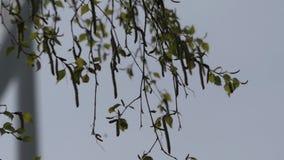 摇摆在风的叶子在公园 在背景风车上 股票视频