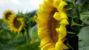 摇摆在风的向日葵的不是一朵盛放的花 影视素材