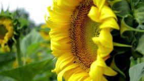 摇摆在风的向日葵的黄色花 影视素材