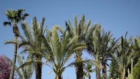 摇摆在风的棕榈树的上面 股票录像