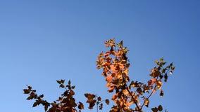 摇摆在风的红色和黄灯叶子通过太阳的光芒反对秋天蓝天 股票录像