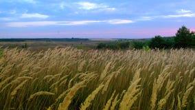 摇摆在风的绿草词根 影视素材