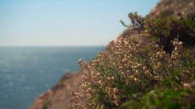 摇摆在风的美丽的开花的草反对海的背景 股票录像