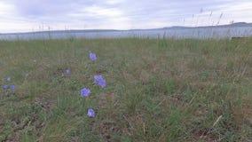 摇摆在风的蓝色干草原花 影视素材