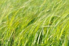 摇摆在风的薹 在割晒牧草期间的湿草甸 醉汉绿色 库存图片