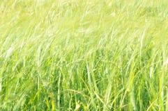 摇摆在风的薹 在割晒牧草期间的湿草甸 图库摄影