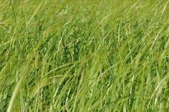 摇摆在风的薹 在割晒牧草期间的湿草甸 库存照片