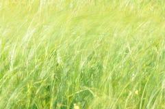 摇摆在风的薹 在割晒牧草期间的湿草甸 免版税库存照片