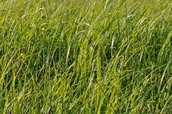 摇摆在风的薹 在割晒牧草期间的湿草甸 免版税库存图片