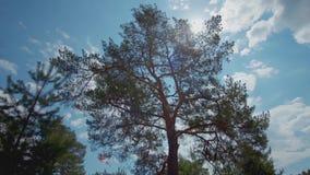 摇摆在风的高杉木反对蓝色多云天空和明亮的阳光在夏天 股票 日晴朗森林的横向 股票录像