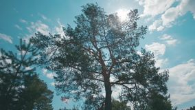 摇摆在风的高杉木反对蓝色多云天空和明亮的阳光在夏天 股票 日晴朗森林的横向 影视素材