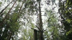 摇摆在风的高杉木 影视素材