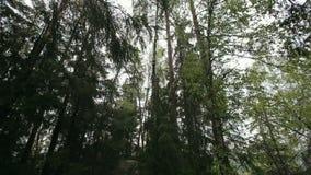 摇摆在风的高杉木 股票视频