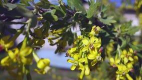 摇摆在风,在天空蔚蓝背景的黄色花无核小葡萄干的开花的无核小葡萄干分支