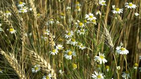 摇摆在麦子的耳朵的中风的美丽的狂放的白色春黄菊花在一个晴朗的夏日 股票视频