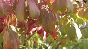 摇摆在轻微的风的秋天叶子 影视素材