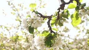 摇摆由风的开花的苹果分支 股票视频