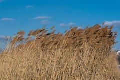 摇摆的芦苇在蓝天下 图库摄影