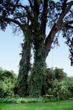 摇摆结构树 免版税库存照片