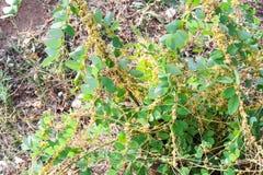 摇摆类菟丝子属是寄生植物 库存图片