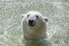 摇他的头的北极熊 库存图片