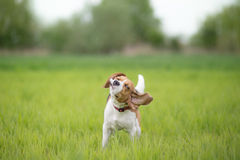 摇他的头的小猎犬狗 库存图片