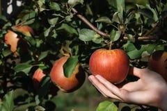 摘一个红色成熟苹果 图库摄影