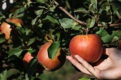 摘一个红色成熟苹果 免版税库存照片