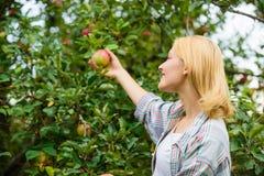 摘从树的农夫夫人成熟果子 收获概念 妇女举行成熟苹果树背景 农厂生产 图库摄影