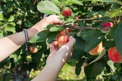 摘从苹果树的妇女手一个红色成熟苹果 图库摄影