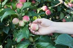 摘从苹果树的妇女手一个红色成熟苹果 免版税库存图片