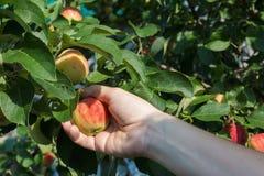 摘从苹果树的妇女手一个红色成熟苹果 免版税库存照片
