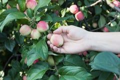 摘从苹果树的妇女手一个红色成熟苹果 库存图片