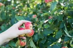 摘从苹果树的妇女手一个红色成熟苹果 免版税图库摄影