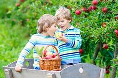 摘和吃在有机农场的两个可爱的愉快的小孩男孩红色苹果 免版税图库摄影