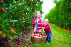 摘在农场的孩子新鲜的苹果 免版税库存照片