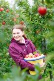 摘在农场的少妇红色苹果 免版税库存照片