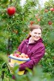 摘在农场的少妇红色苹果 免版税图库摄影