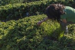 摘在山的妇女蓝莓 特罗扬巴尔干的一个难以置信的看法 山着迷与它的秀丽, 图库摄影