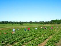 摘在有机莓果农场的人家庭新鲜的草莓在夏天 免版税库存照片