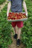 摘您自己的草莓 库存图片