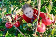 摘有机苹果的女孩入Basket.Orchard。 免版税库存图片