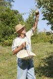 摘有机苹果的花匠 免版税库存图片