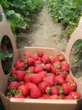 摘的草莓 免版税库存照片
