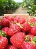 摘的草莓 库存图片