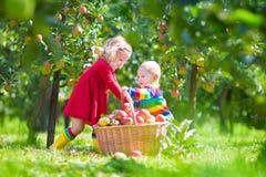 摘苹果的孩子在庭院里 库存图片